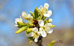 Картинка белый, макро, цветы, природа, весна, цветение
