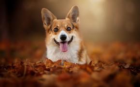 Обои взгляд, пёсик, Вельш-корги, листья, боке, мордашка, листва, осень, язык