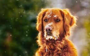 Картинка зима, снег, собака