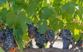Картинка листва, виноград, виноградник, leaves, grapes, грозди, the vineyard