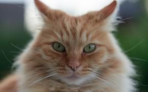 Картинка кошка, взгляд, мордочка, рыжий кот
