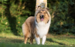 Картинка собака, Шелти, Шетландская овчарка