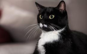 Обои кот, фон, глаза, усы