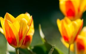Картинка Весна, Тюльпаны, Spring, Tulips