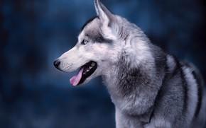 Обои язык, морда, фон, портрет, собака, профиль, Хаски