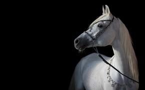 Картинка свет, конь, лошадь, контраст, грация, тёмный фон, арабский