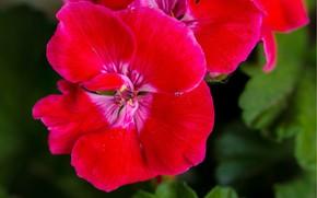 Картинка Макро, Macro, Герань, Red flowers, Красный цветок, Geranium