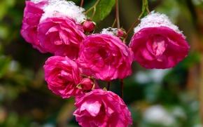 Картинка Bokeh, Pink roses, Розовые розы
