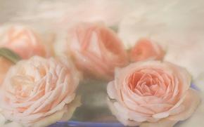 Картинка розы, обработка, бутоны