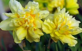 Картинка цветы, природа, красота, растения, весна, май, первоцветы, нарциссы, дача, флора, жёлтый цвет, луковичные