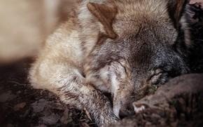 Картинка серый, волк, шерсть, спит