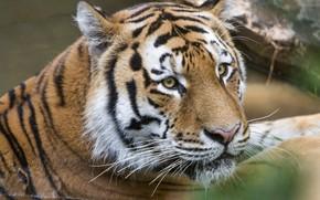 Картинка тигр, портрет, хищник, красавец