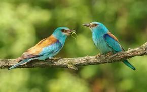 Картинка птицы, природа, ветка, пара