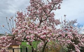 Картинка дерево, цветение, магнолии