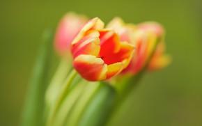 Картинка лепестки, бутон, тюльпаны, боке