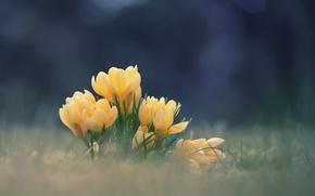 Обои цветы, весна, крокусы, боке
