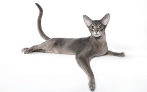 Картинка грация, порода, абиссинская кошка