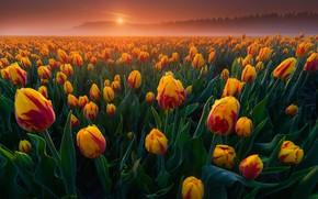 Картинка поле, туман, рассвет, утро, тюльпаны, Нидерланды, бутоны, много