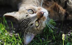 Картинка кошка, трава, кот, усы, взгляд, морда, крупный план, природа, портрет, лежит, зеленоглазый, дикий