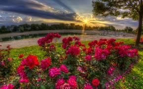 Обои цветы, утро, лучи, природа, розы, дерево, озеро, лето, солнце, пейзаж