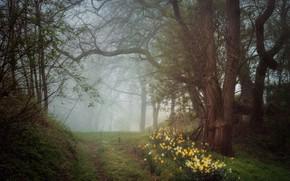 Картинка лес, деревья, цветы, природа, весна, дымка, нарциссы жёлтые