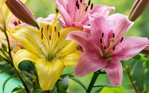 Обои макро, лилии, лепестки