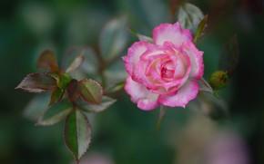 Картинка листья, роза, лепестки, бутон, боке