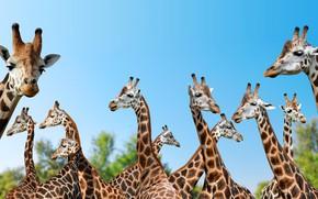 Картинка животные, природа, жирафы