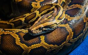 Картинка snake, reptile, scales