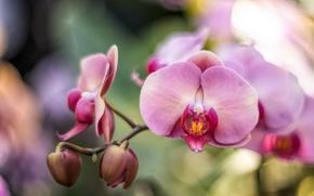 Картинка розовый, ветка, орхидея