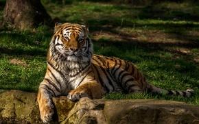 Обои камни, трава, отдыхает, зелень, вода, тигр, боке, деревья, хищник, лежит