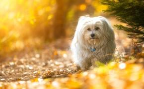 Картинка взгляд, ветки, собака, боке, Гаванский бишон