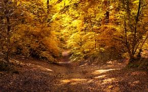 Картинка осень, лес, листья, солнце, деревья, желтые, тропинка