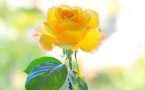 Картинка цветок, желтый, фон, роза, лепестки
