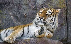 Обои дикая кошка, амурский, зоопарк, тигр, морда, лапа, отдых, хищник, лежит