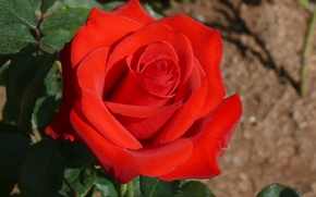 Картинка Боке, Red rose, Красная роза