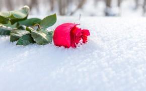 Картинка зима, цветок, листья, солнце, снег, роза, бутон, лежит, алая, боке, на снегу