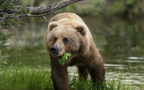 Картинка трава, вода, Аляска, листочек, медведица, Бурый медведь, Кадьяк