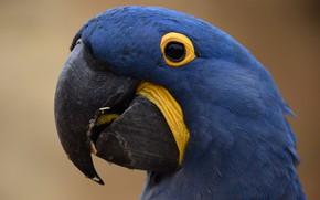 Картинка Птица, Ара, Попугай