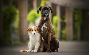 Обои две собаки, боке, Tini, Sunny