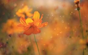 Картинка Весна, Цветок, Flower, Spring, Космея, Kosmeya