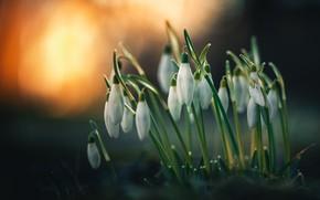 Картинка цветы, природа, фон, подснежники