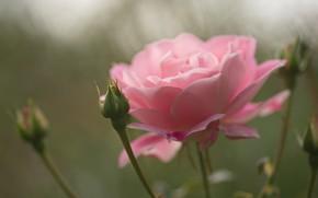 Картинка цветок, макро, розовая, роза, бутон
