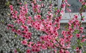 Картинка стена, цветение, персик, весна 2018, Mamala ©