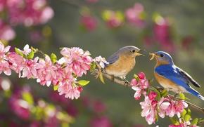 Обои цветы, ветка, весна, сад, самка, самец, сиалия