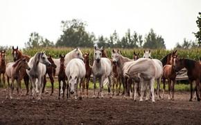 Обои табун, поле, лошади, кони