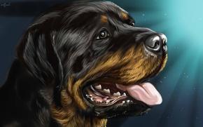 Картинка Собака, Ротвейлер, Rottweiler