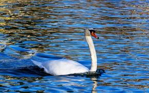 Картинка вода, природа, блики, синева, фон, голубой, птица, рябь, лебедь, водоем, шея, плавание