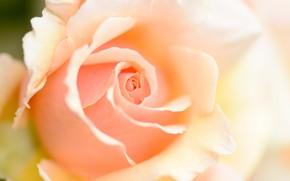 Картинка макро, роза, персиковый