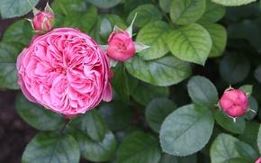 Картинка куст, розы, весна, сад, розовые, бутоны, открытка, крупным планом